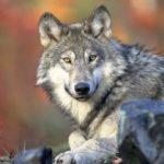 Vlk šedý Slovensko