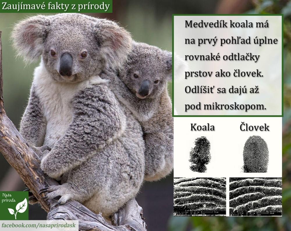 Koala odtlačky