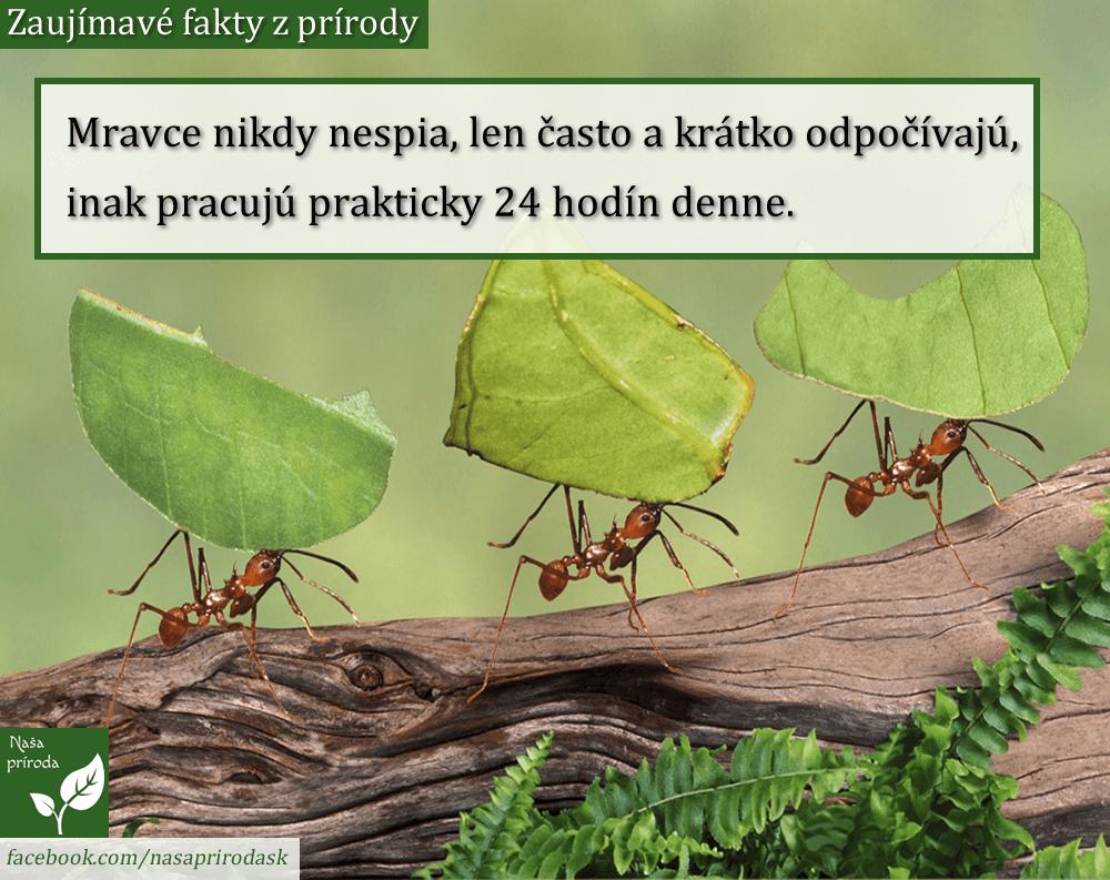 mravci
