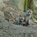 Mláďatá Líšky hrdzavej v slovenských lesoch