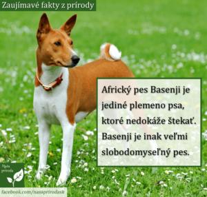 Plemeno Basenji